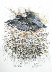 Raven Chicks in the Nest by Peter Biehl