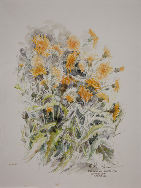 Perennial sow thistle. Sumburgh by Peter Biehl