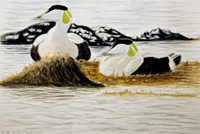Two Eiders early morning, Howard Towll